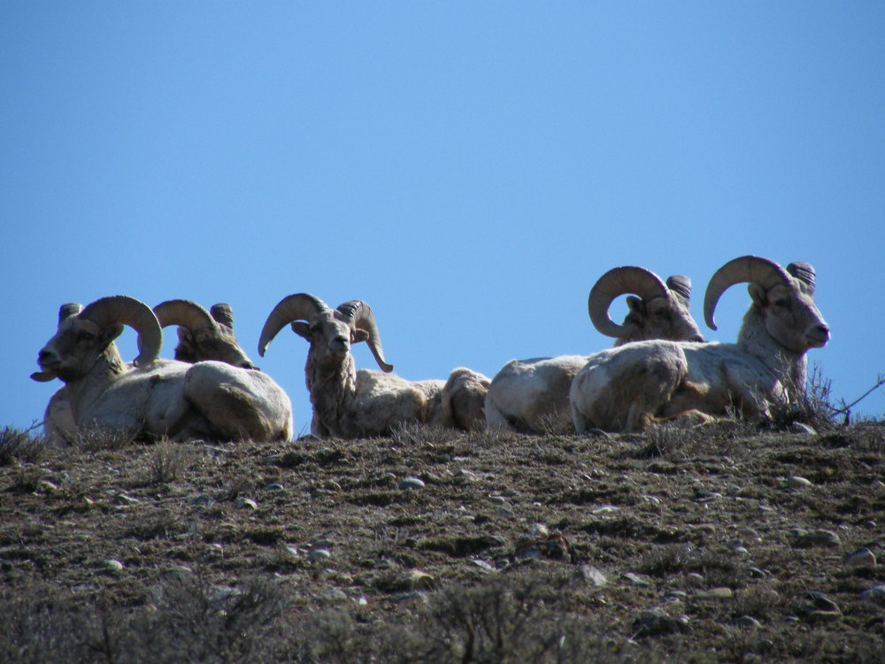 259Bighorn Sheep Gros Ventre.JPG