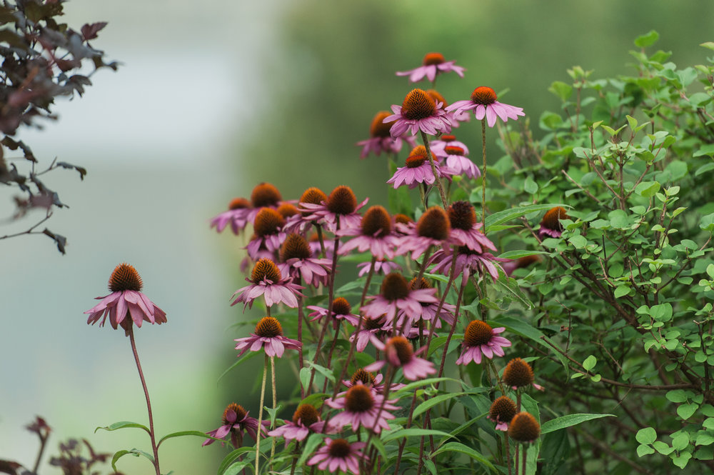 Beautiful Echinacea plants at Mountain top Inn and Resort