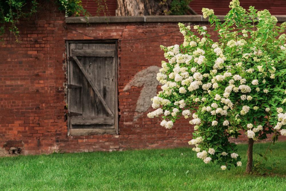 Secret garden with hydrangea tree at Bennington College
