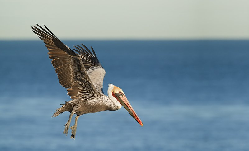 1013__800x800_brown-pelican-in-flight-70-200-ii-w-2x-ii-tc-_y9c8101-la-jolla-ca.jpg