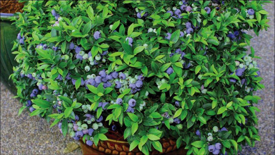 blueberry bush.png