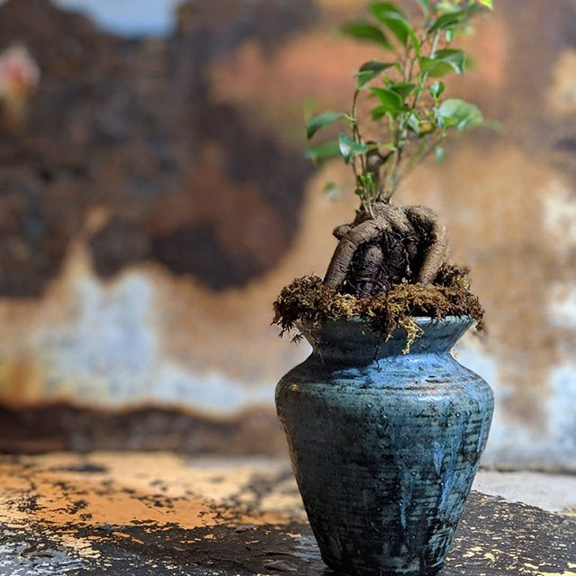 I've decided to start posting pictures of my plants living in my pots. Hope you enjoy!  Ginseng Ficus Ficus Retusa . . . #ficus#planters #plantlife #greenthumb #life#MakersGottaMake #Tableware #Studio #WheelThrown #Functional #Altered #Clay #Pottery #StudioaArt #HandMade #Pottery #NYC #Art #ShopSmall #Stoneware #Interior #PhotoOfTheDay #InteriorDesign #Light #YesPlease #NotMyPresident #PapePottery