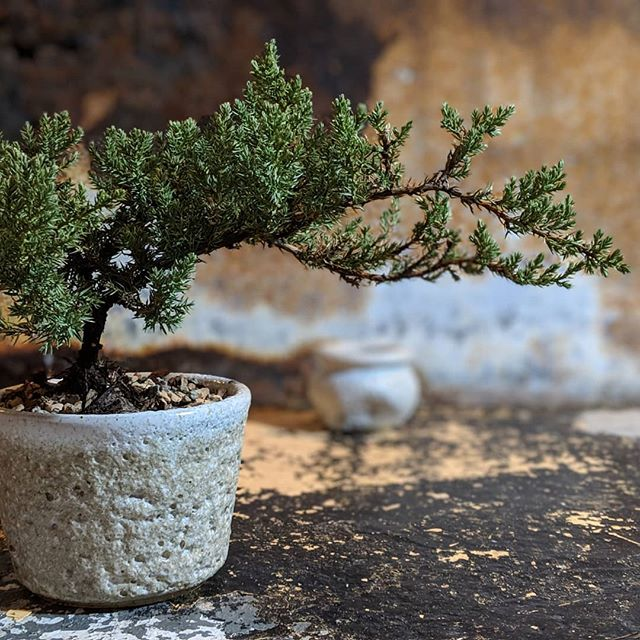 An evergreen seemed appropriate for today. Happy Festivus for the rest of us!  Juniper Bonsai Juniperus . . . #bonsai #bonsaitree #texture #Planters #Plantlife #Greenthumb #MakersGottaMake #Tableware #Contemporary #WheelThrown #Functional #Altered #Clay #Pottery #StudioaArt #HandMade #Pottery #NYC #Art #ShopSmall #Stoneware #Interior #Interiordesign #PhotoOfTheDay #InteriorDesign #Light #YesPlease #NotMyPresident #PapePottery