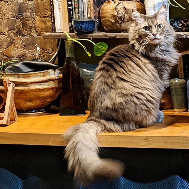 Say hello to my new best friend, Lucy. She's an 8+ year old Maine Coon mix. And so soft you wouldn't believe it...@brooklynanimalaction . . . #mainecoon #mainecoonmonday #brooklynanimalaction #usedcat #grey #PapePottery