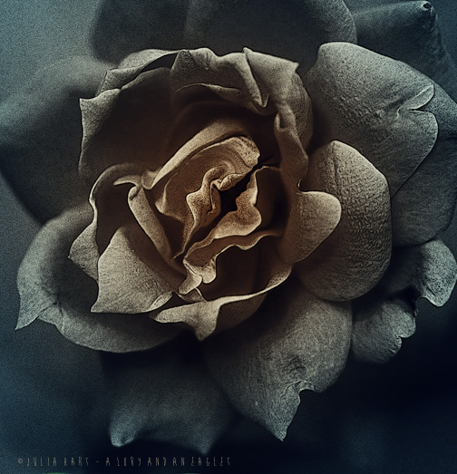 rose bloom bw post 2 color s wl.jpg