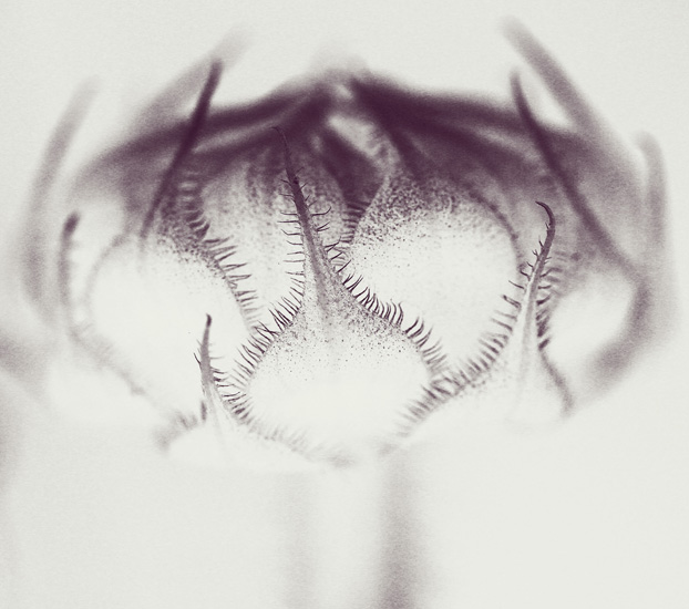 sunflower bud 12 bw 2 crop light reverse 2 s.jpg