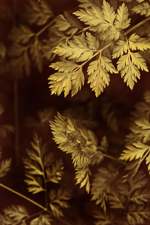 hedge parsley weeds yellow brown 4.jpg