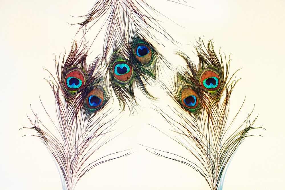 peacock feathers on white x 3 edit.jpg