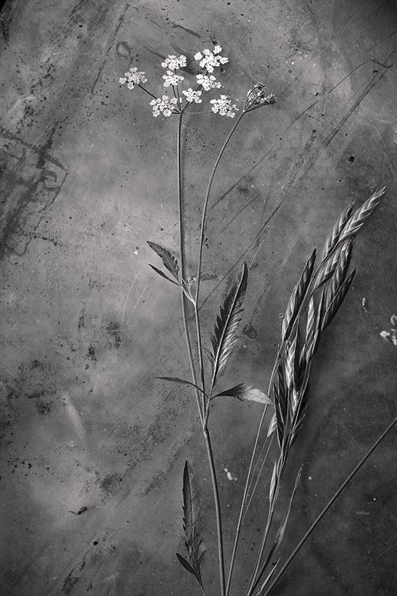 grass seed hedge parsley 4 2 mono s.jpg
