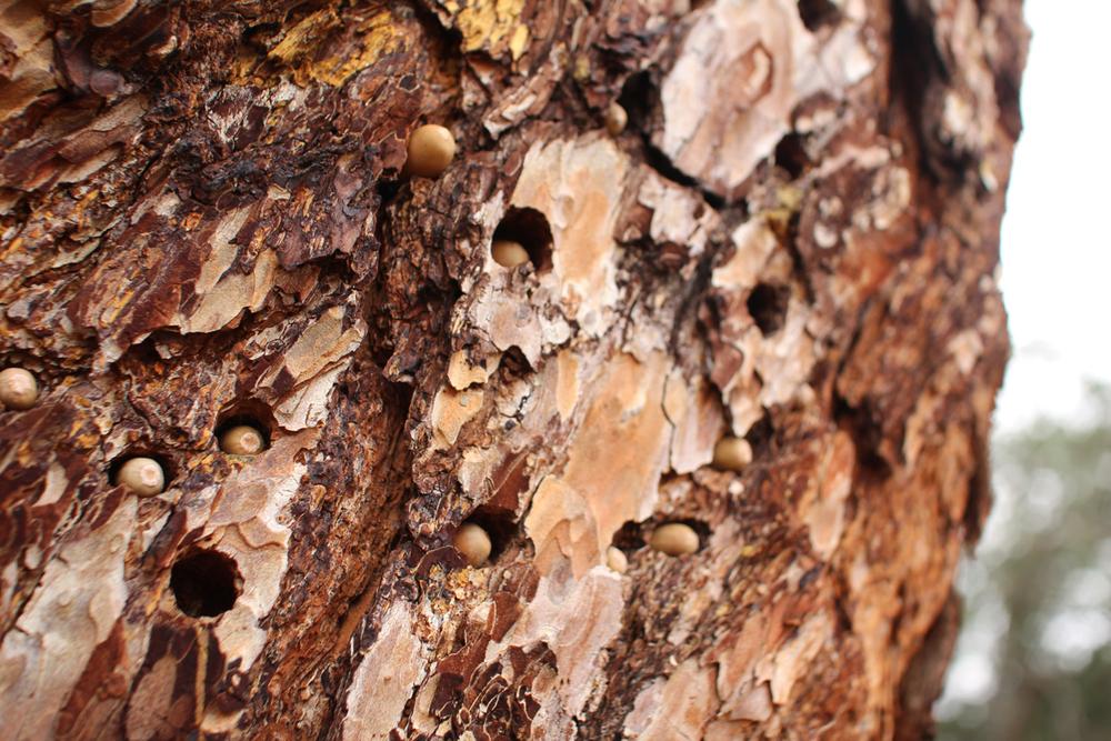 granary-tree.jpg