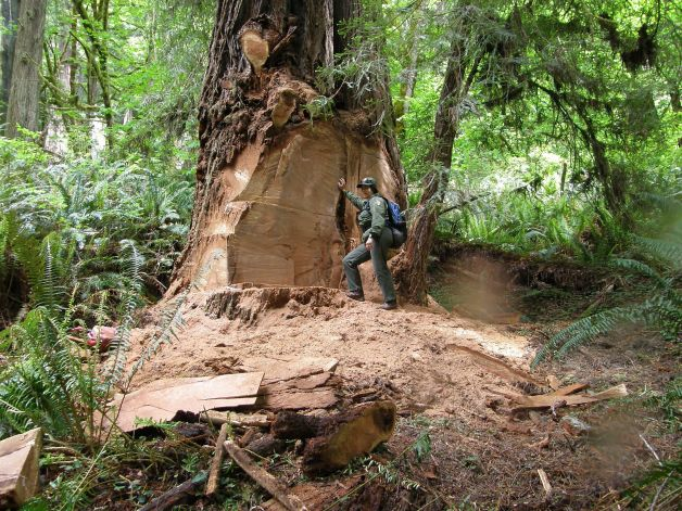Wildlife biologist Terry Hines standing next to a massive scar on an old growth redwood tree in the Redwood National and State Parks near Klamath, CA. Photo: Laura Denny, Associated Press