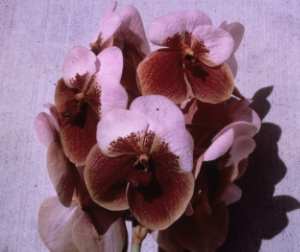 The second in a historic set of articles Dr. Motes wrote in the late 1980s and early 1990s about the history of vanda hybridizing. This article focuses on Vanda sanderiana. First published in the American Orchid Society Bulletin. Some of this material was later adapted into Vandas: Their Botany, History and Culture.