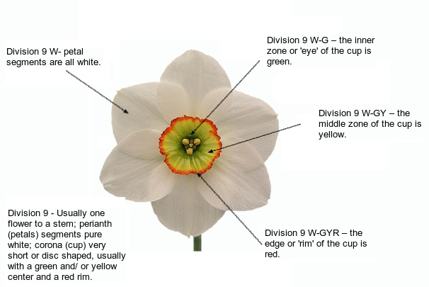 daffodil diagram.jpg