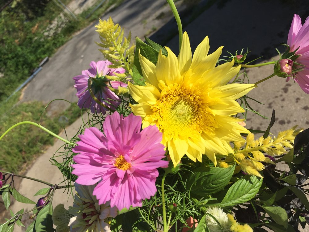 Double click cosmos cosies up to starburst lemon aura sunflower.