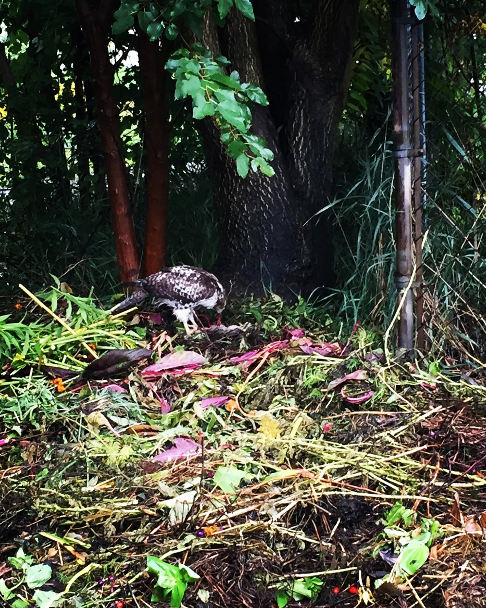 I saw a falcon (or a hawk) on the compost pile today. I'm glad it didn't eat Ruti.