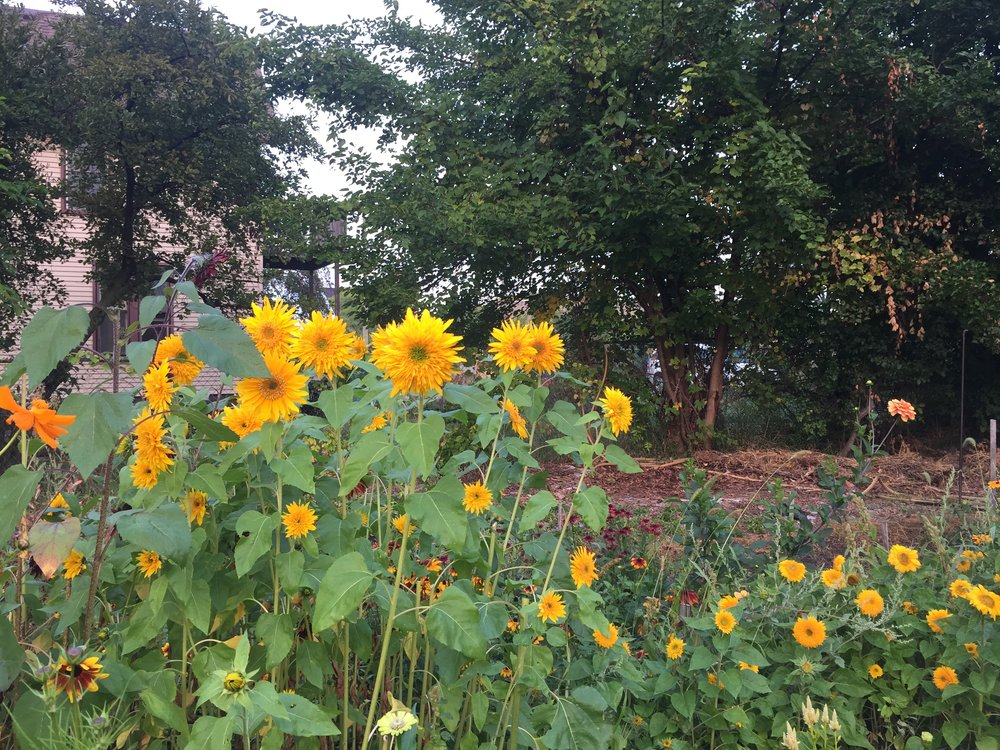 To types of double sunflowers, tall & short, together in the east field.