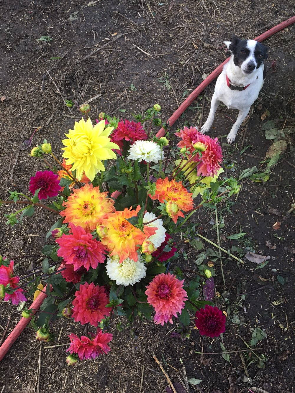 Dahlias & Ruti join together to be some of the prettiest things on the farm.