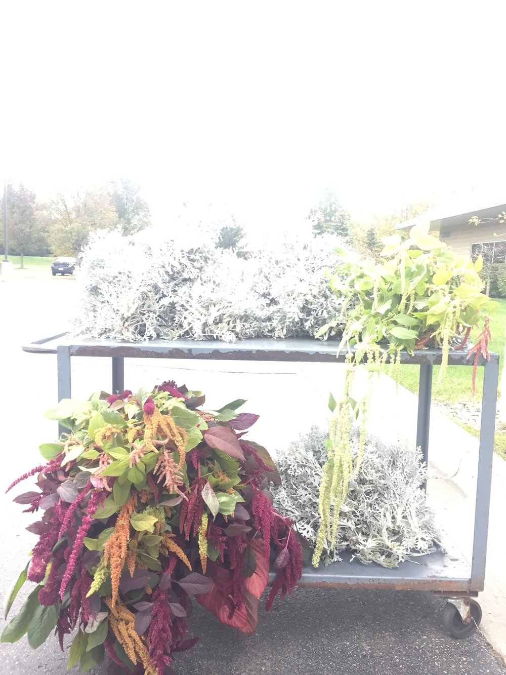 A lovely cart full of dusty miller & amaranth, at our last delivery to Mayesh.