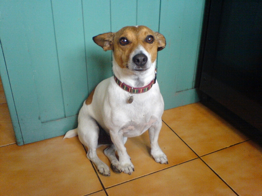 Ted the Jack Russell.  Does anyone have to tell us that Ted is loyal, stalwart, and smarter than us?