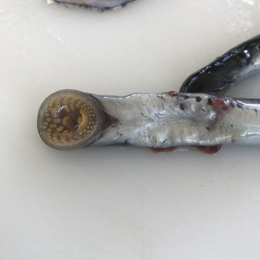 Alien parasite, the sea lamprey eel.