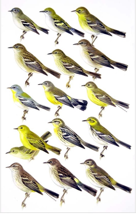Nearly identical, but all different. Roger Tory Peterson's famous Confusing Fall Warblers.