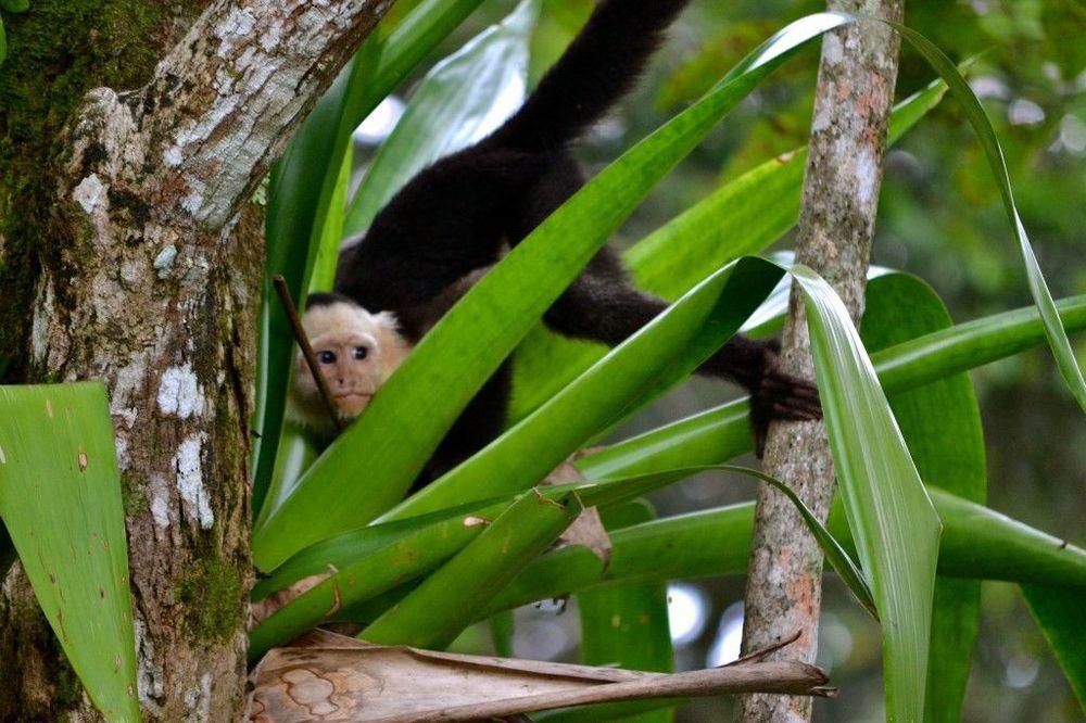 Costa Rica – brown monkey