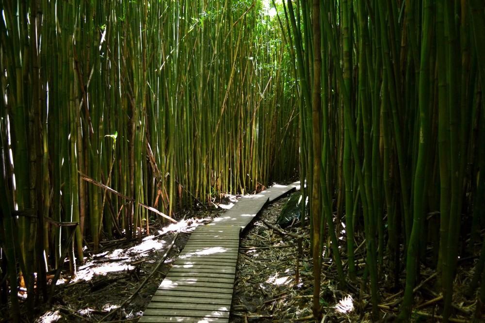 Maui - Bamboo Forest Near Hana