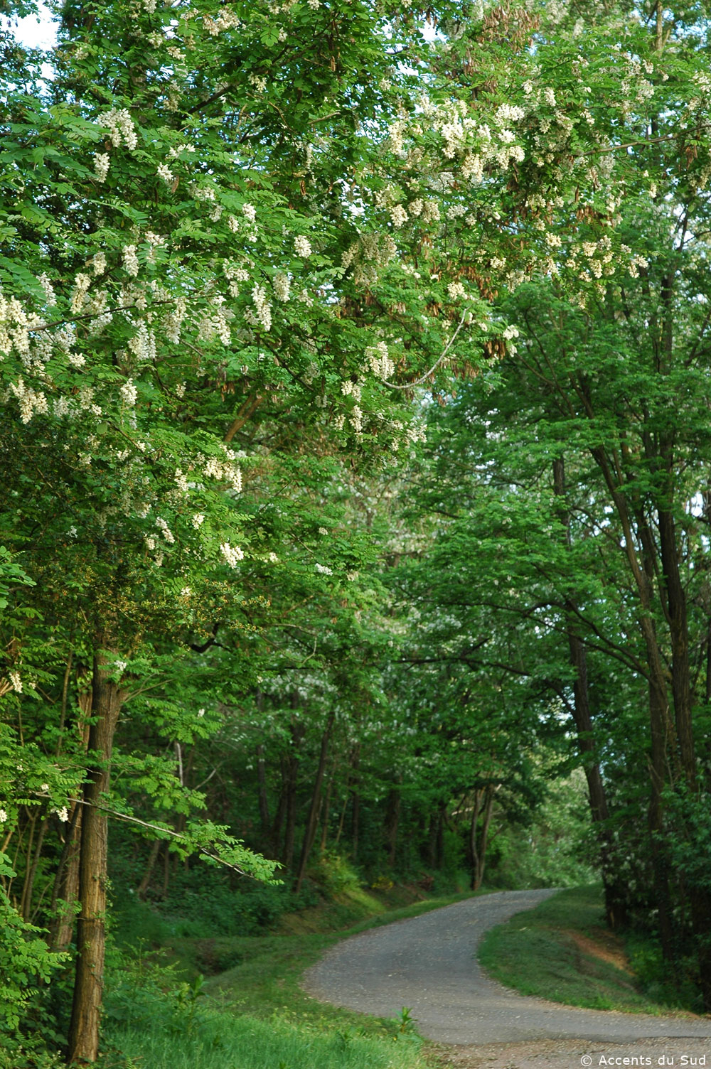 Black locusts forest, the largest in Europe