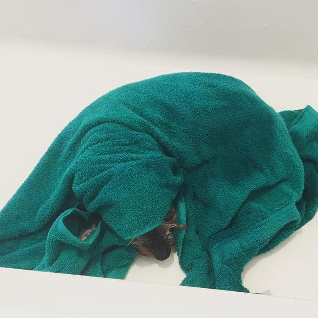When you are #tooold to care that you're still in the #bathtub #elderlydog #elderlydogsofinstagram #minischnauzer #oldassminischnauzer #pukie #themagician #hucuspukus #palmbeachminischnauzer
