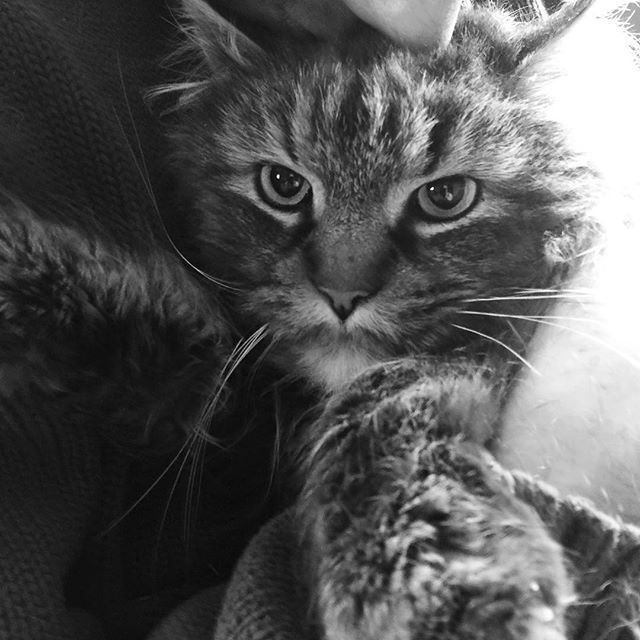 Clearly I'm only equipped to make #baddecisions. #hausofadams welcomes this #mainecoon #rescuecat that is a little mean and #feral #justlikeus #namesuggestions are welcome. We can't seem to agree on what this sweet #Superchill #grumpycat should be called.  Also my dogs are kind mad and a little afraid, but we can #makeitwork.  UPDATE: his name is Gucci Maine