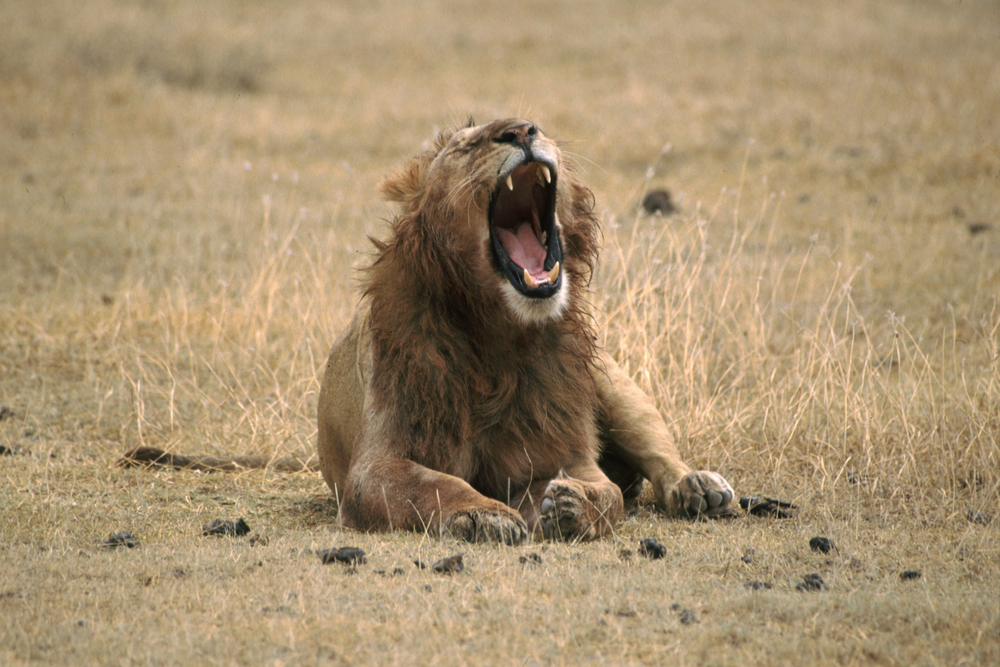 Lion_Yawning copy.jpg