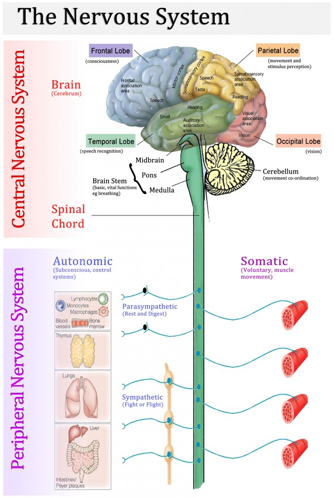 Luxury Brain Functional Anatomy Frieze - Anatomy And Physiology ...