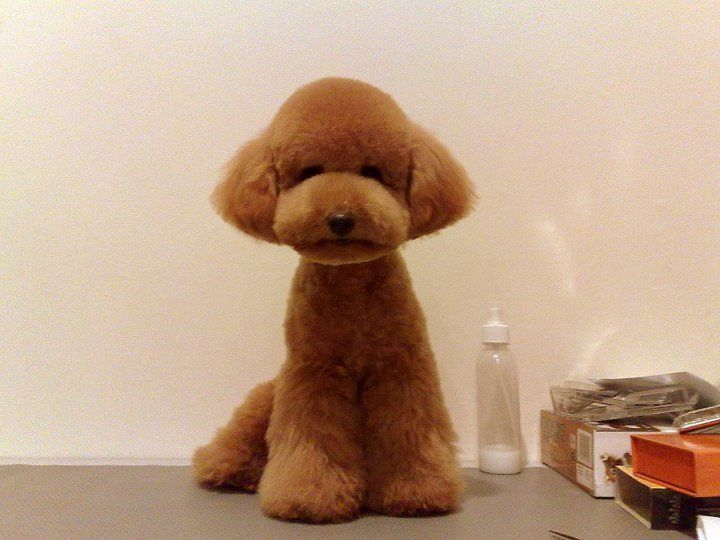 Red Teacup Poodle Puppy Teacup poodle teddy bear cut