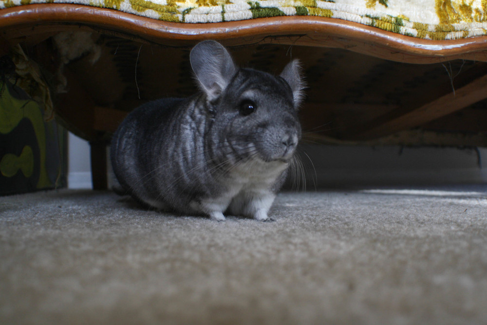 PS, on a happy note, this is my Chinchilla. Her name is Nala.
