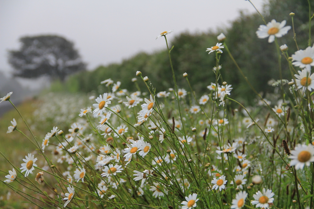 251:365 Wild daisies and hedgerows lining the road at Bombay.