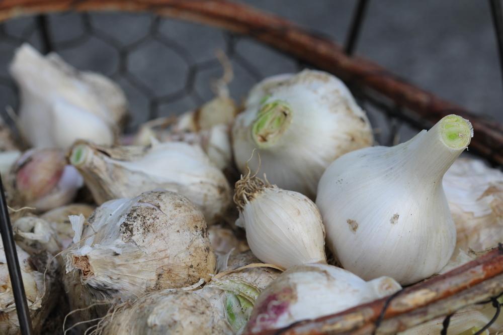 9-2-14 Garlic 2.JPG