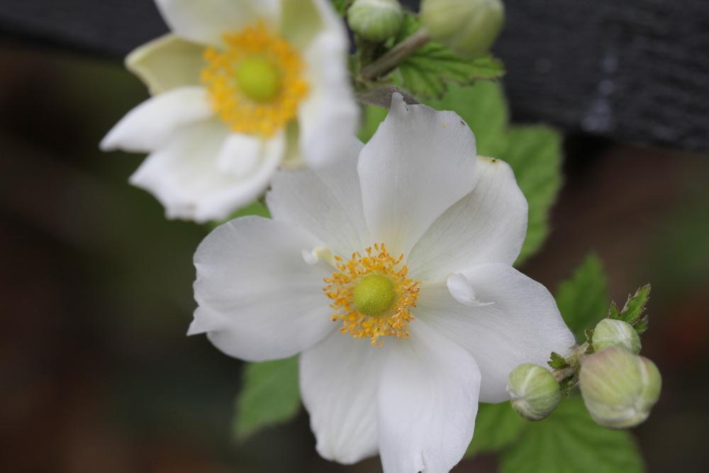 19:365 9-4-14 Japanese anemone