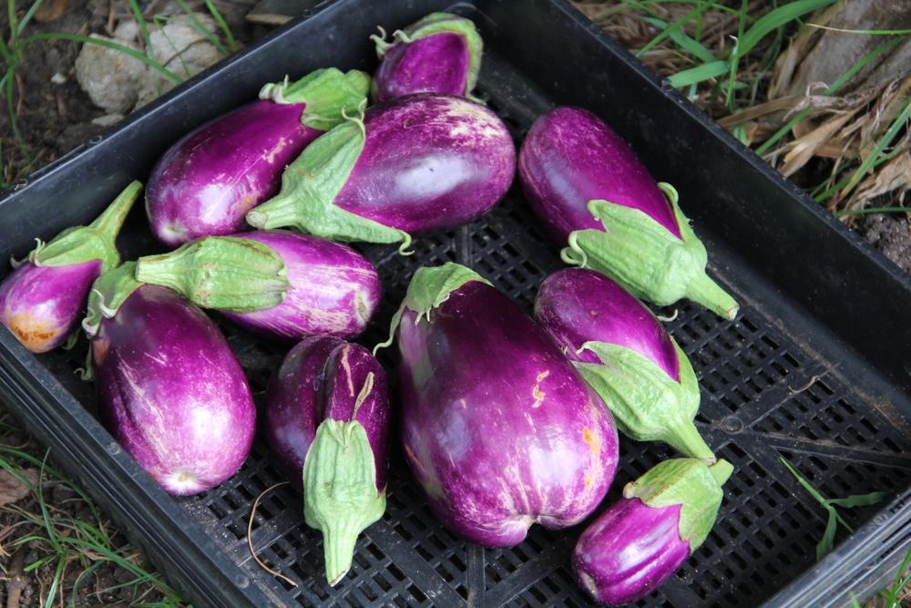 28-4-14 Eggplant.JPG