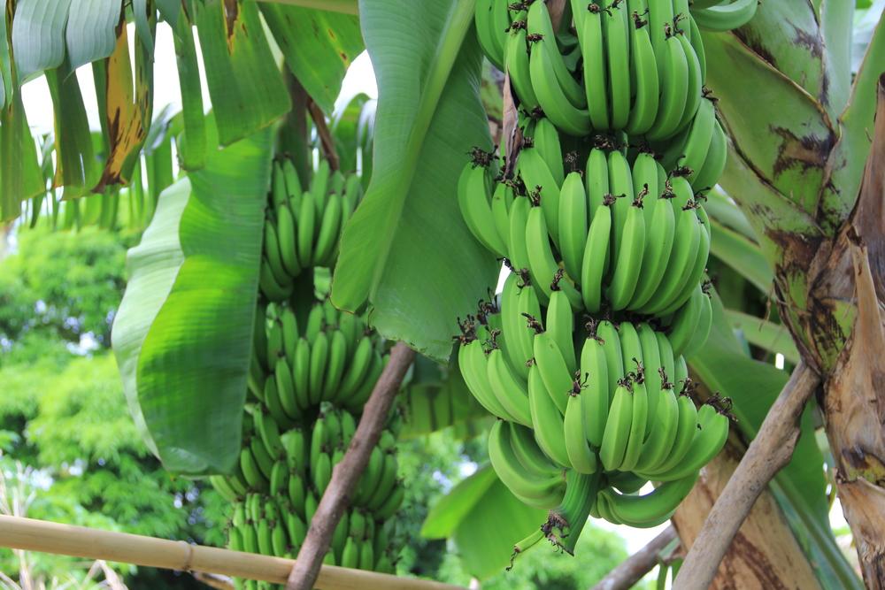 28-4-14 Bananas.JPG