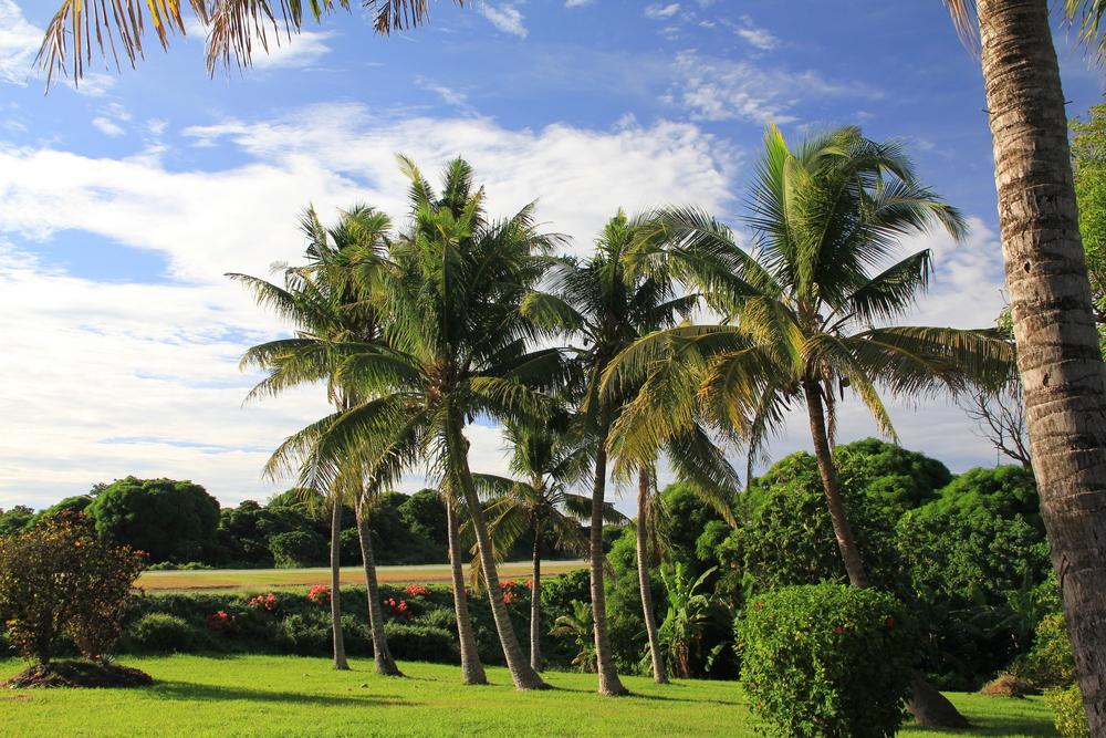 30-4-14 Coconut palms.JPG