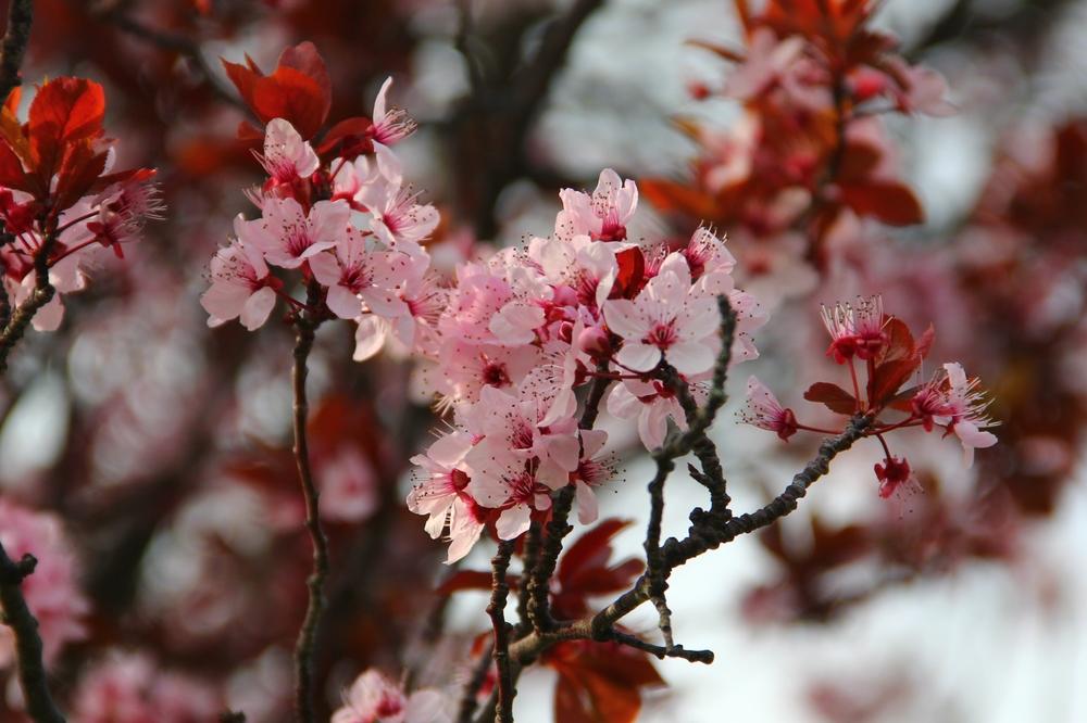 4-9-14 Blossom 2.JPG