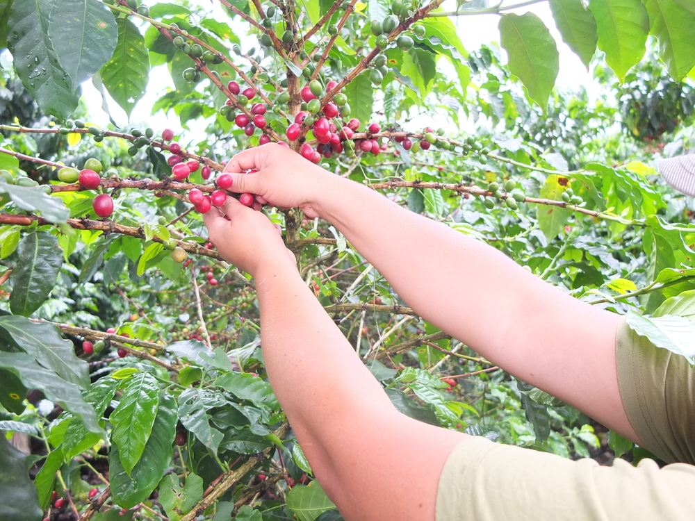 cherry picking.JPG