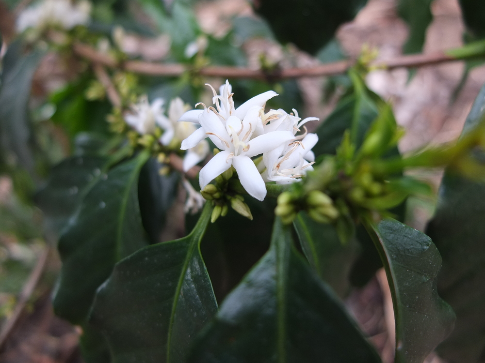 coffee flower.JPG