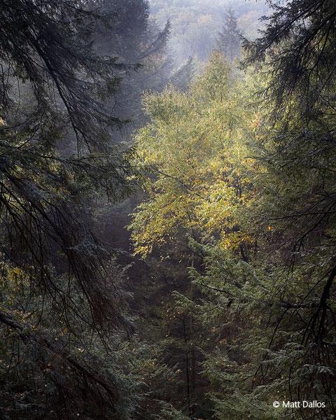 Hemlock / Birch