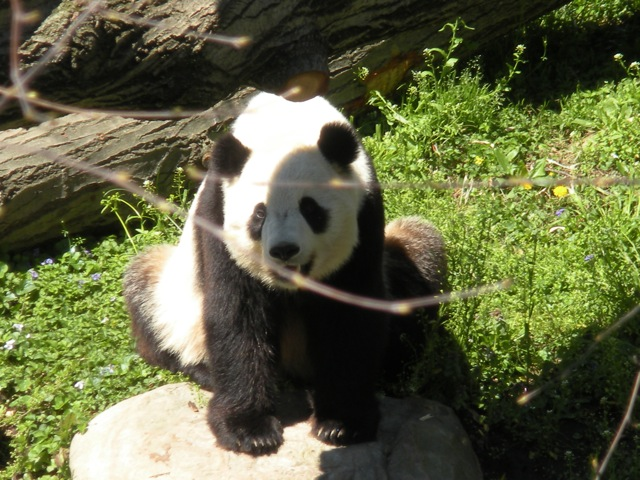 on our babycation, he took awesoem pictures of the panda bear i desperately wanted to see, but was too short to catch a glimpse.