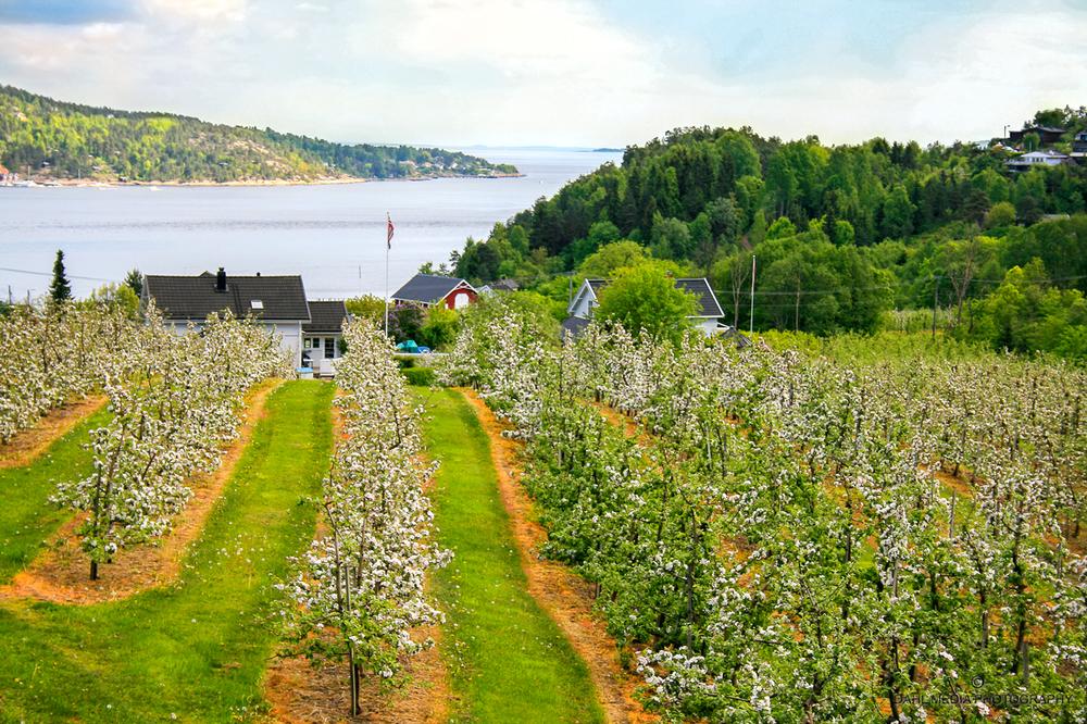 Fra fruktblomstringen i mai. Svelvik er den største fruktkommunen i Vestfold og landets 5. største.