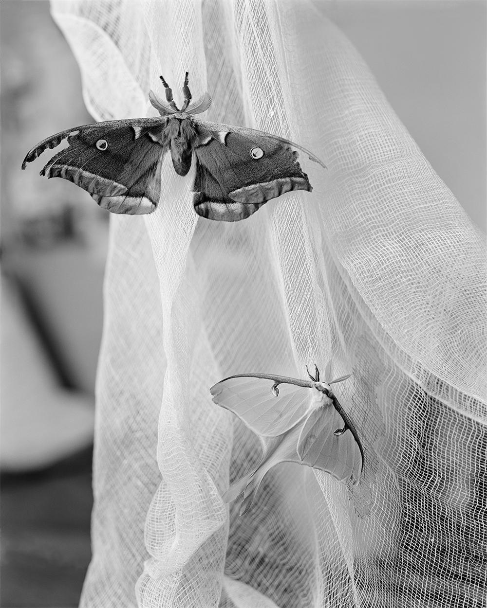 Actias Luna, Antheraea Polyphemus (2014)