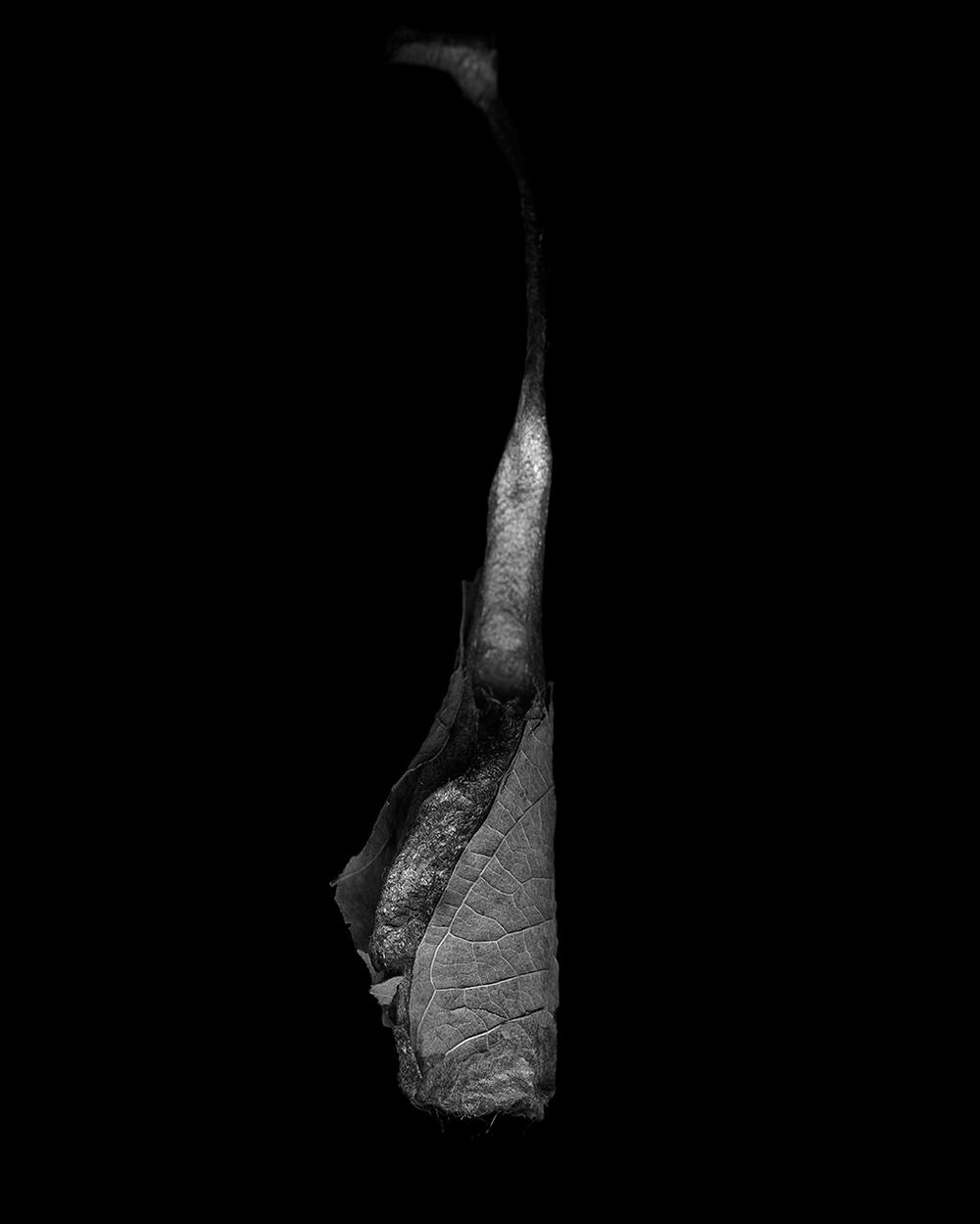 Callosamia Promethea Cocoon II (2014)