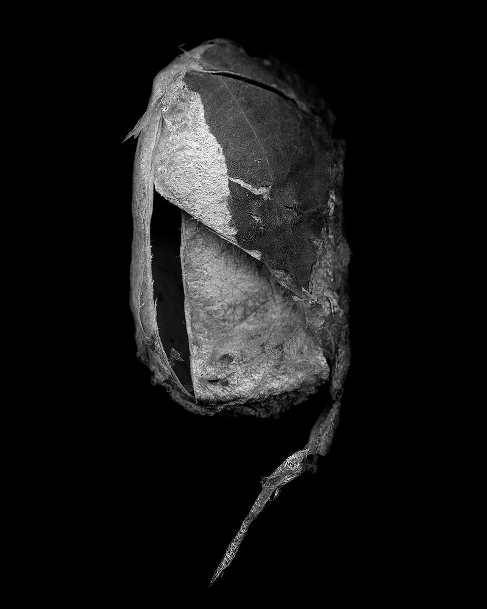 Antheraea Polyphemus Cocoon I (2014)