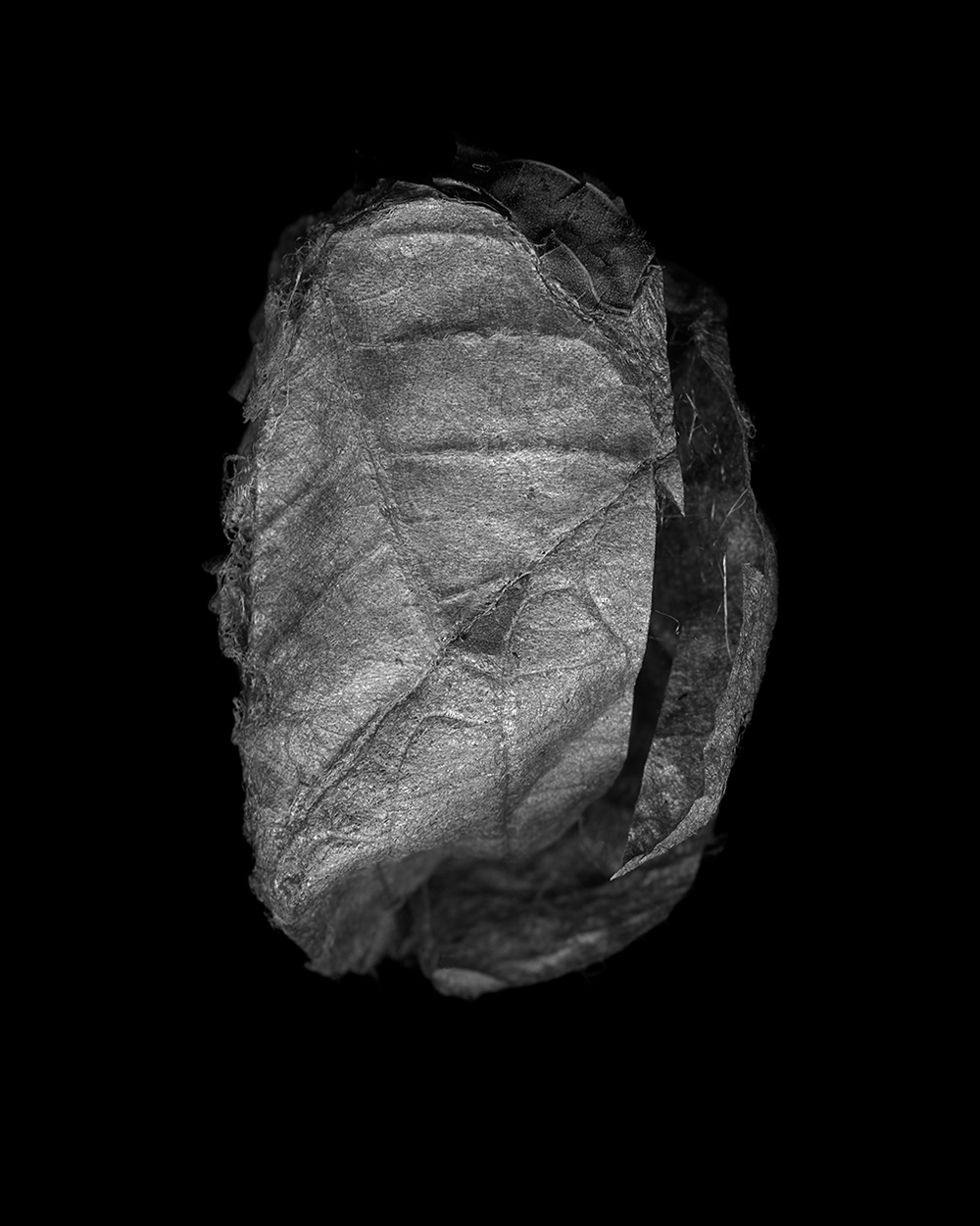 Antheraea Polyphemus Cocoon II (2014)